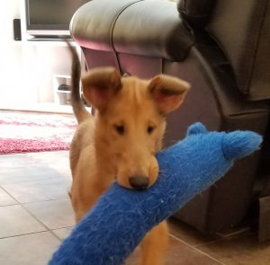 Smooth collie puppy carrying toy